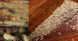 Cách diệt mối sàn gỗ hiệu quả