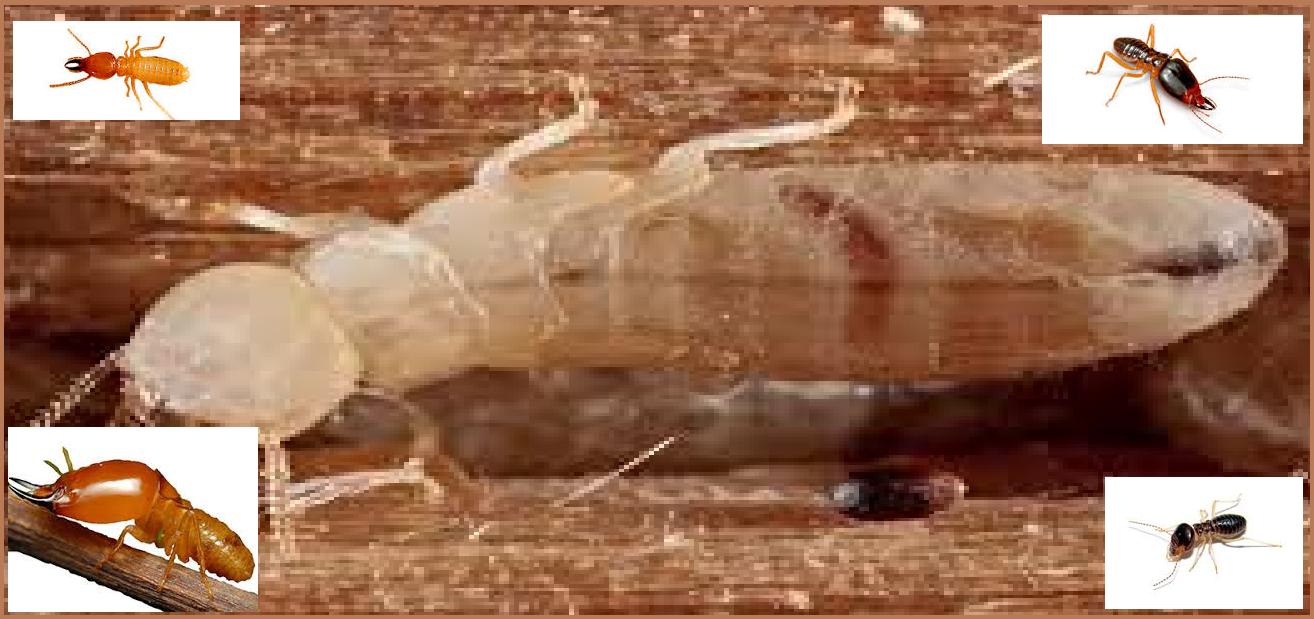 Diệt mối côn trùng tại hà nội 1