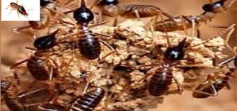 Diệt mối côn trùng tại Bình Dương